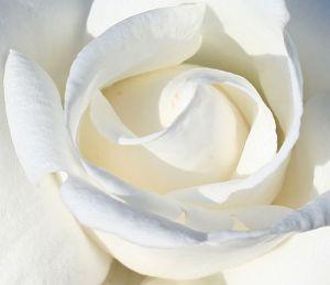 """""""White Rose"""", de Dosbears"""